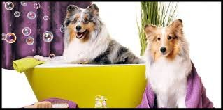 Groomed Collies