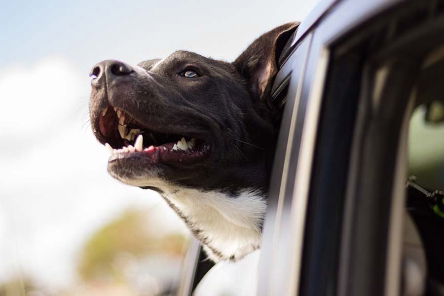 Happy Car Travel with Puppy