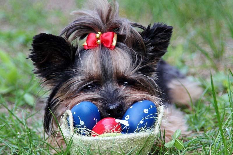 Dog and Chocolate