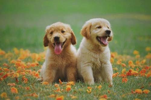 Cute Labrador Retriever Puppies ABC story
