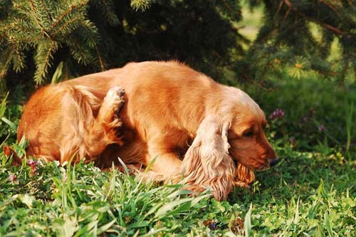 Dog Scratching Ticks
